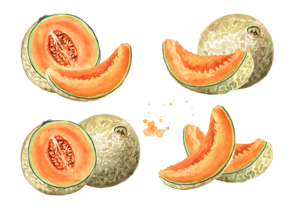 Cantaloupe Illustration