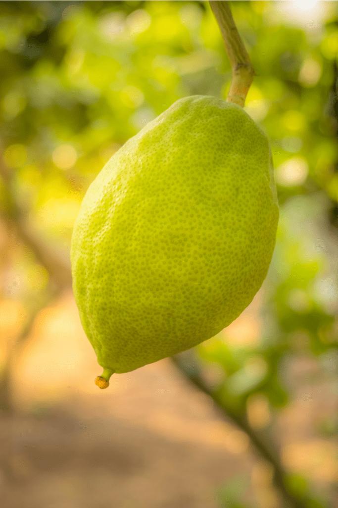 Etrog Fruit