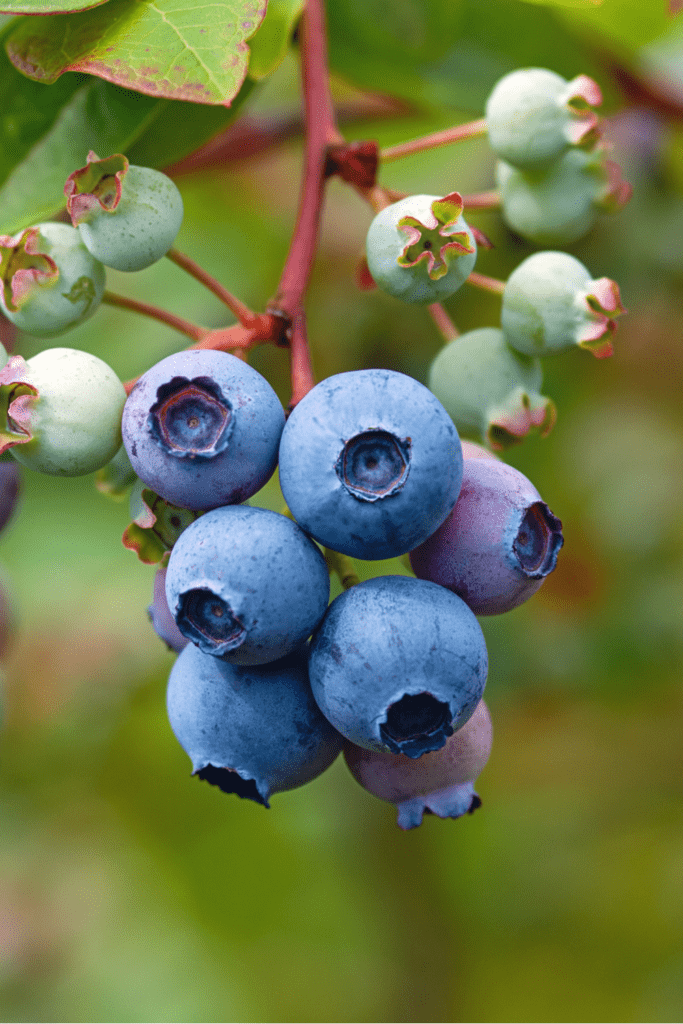 Raw Evergreen Huckleberry Fruit