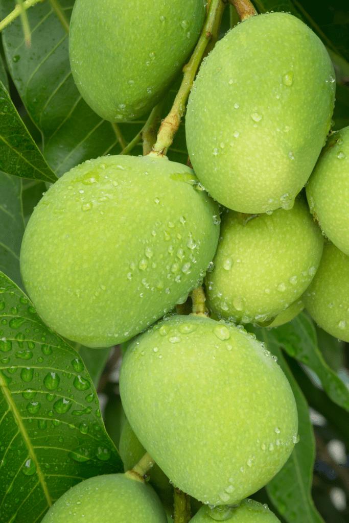 Young Mangoes