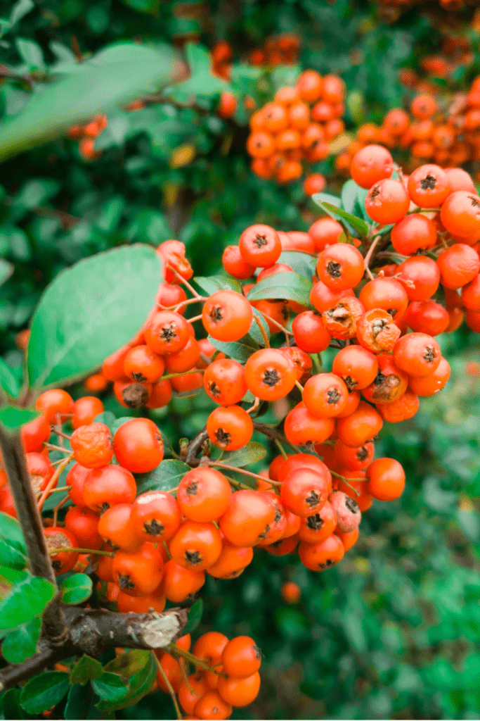 Orange Hackberry