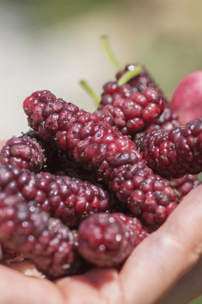 Himalayan Mulberry